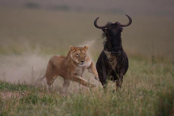 lion_kill_wildebeest_pg@large